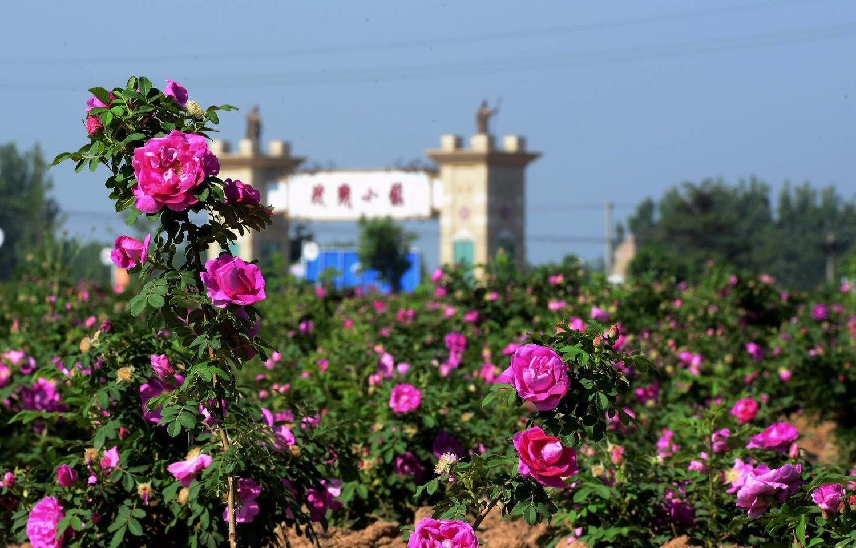 玫瑰小镇景点总览-景点欣赏-青岛玫瑰圣地农业综合